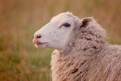 Sheep – When going abroad, go wise.